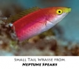 smalltail_wrasse